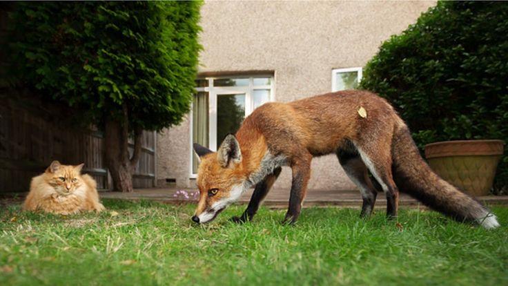 Городские лисы давно уже никого не боятся
