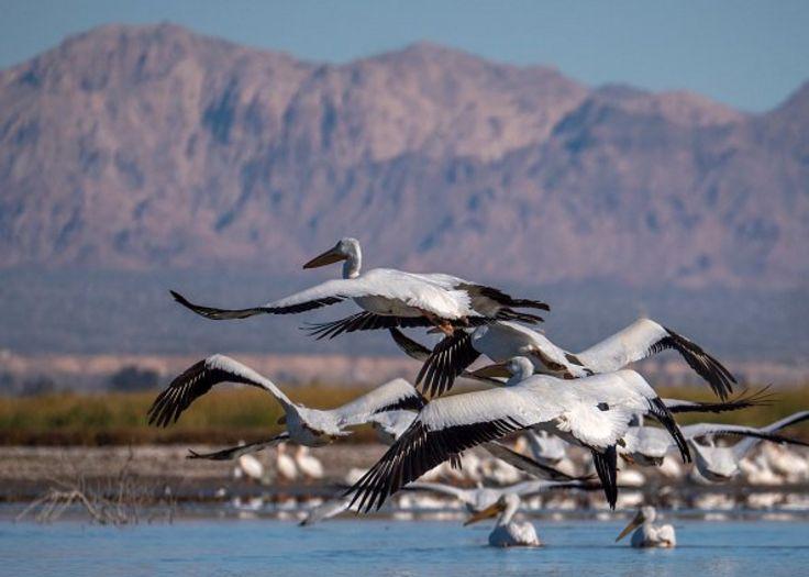 Chim bồ nông trắng bay qua vùng Salton Sea, ngay bên trên vết gãy San Andreas, gần Calipatria, California vào tháng 1, 2019.