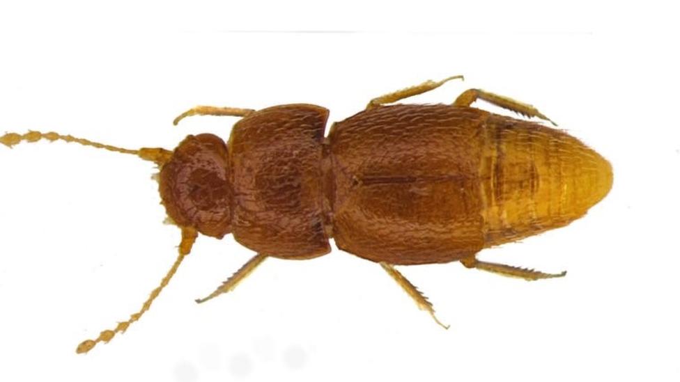 Жук Грета (Nelloptodes gretae)