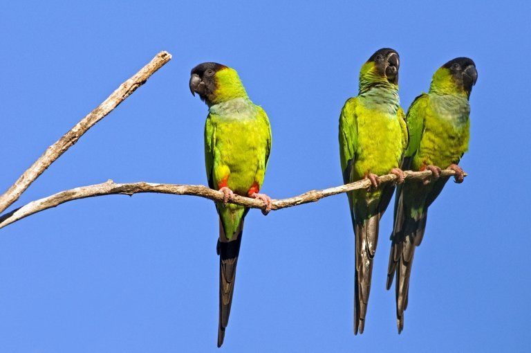 Black-hooded parakeets also live in the Brazilian Pantanal