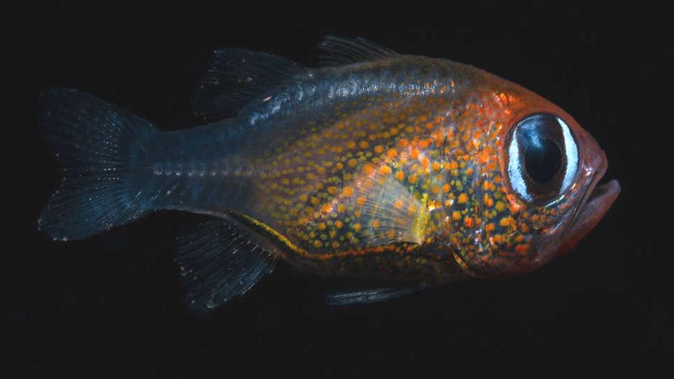 Пучеглазая рыба Siphamia arnazae