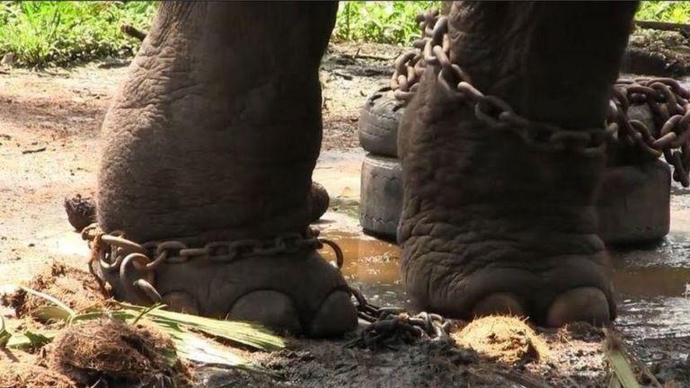 Слонов заставляют стоять в своей собственной моче и навозе