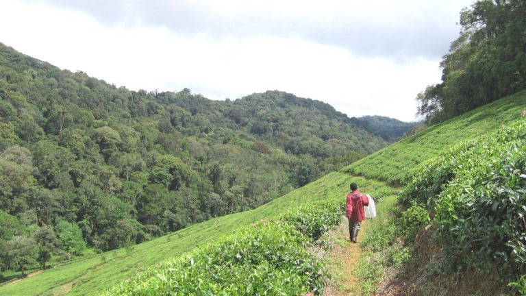 The mountain forests in Kenya and Tanzania contain many threatened and rare plant species