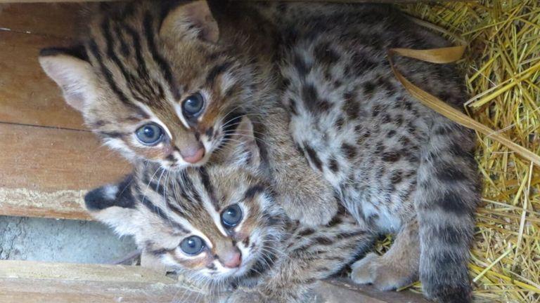 台湾石虎(Leopard Cat)俗名豹猫或山猫。