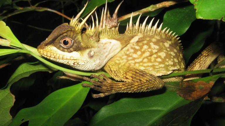 Ящерица (Acanthosaura phuketensis)