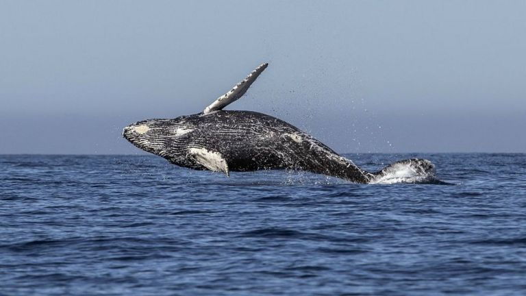 Ballena en aguas del Pacífico.
