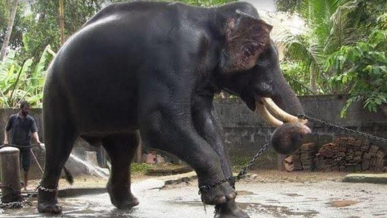 Слон на цепи