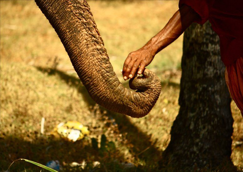 An Indian elephant