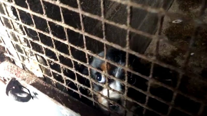 A young dog in a caged enclosure at a puppy farm in Carmarthenshire in Wales