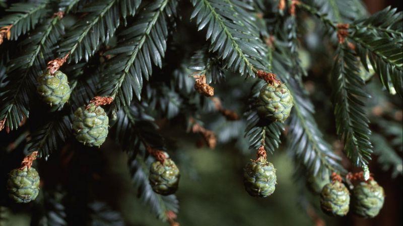 Hojas y conos de una secuoya roja o secuoya de California, Secuoya sempervirens