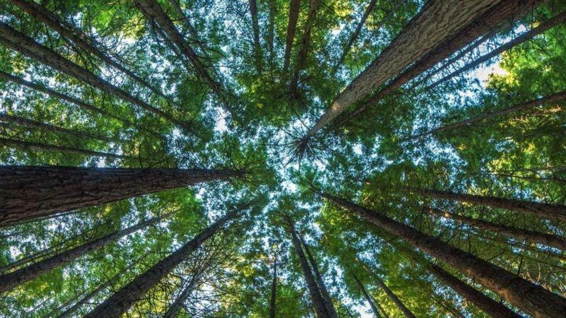 Copas de árvores vistas de baixo