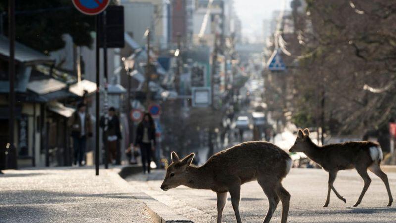 Deer-in-street.
