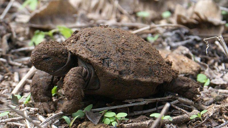 Tortuga bebé que acaba de emerger del caparazón y está cubierta de tierra