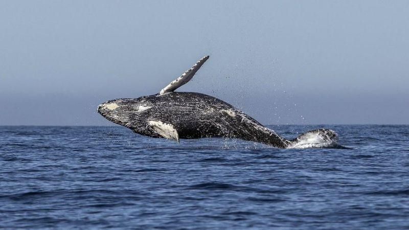 humpback-whale.