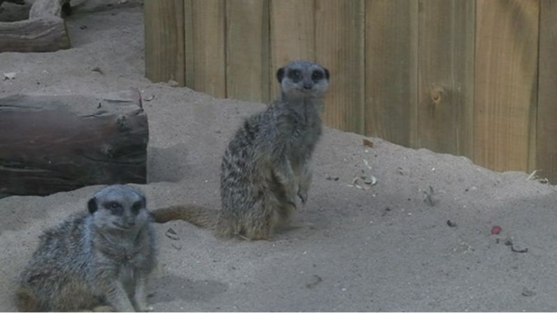 Meerkats at the rainforest