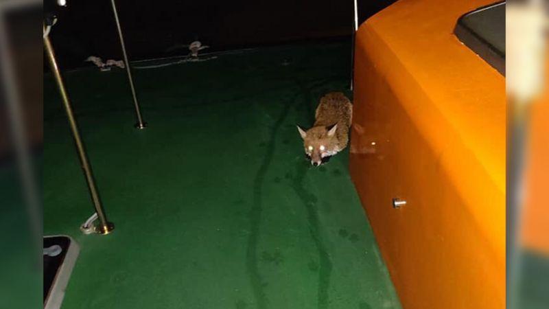 Splash the fox