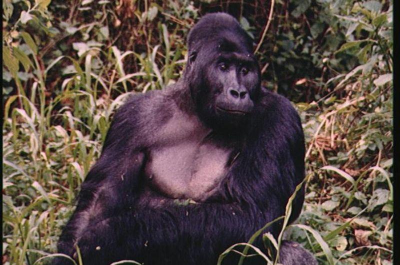 116507262 gorila 1