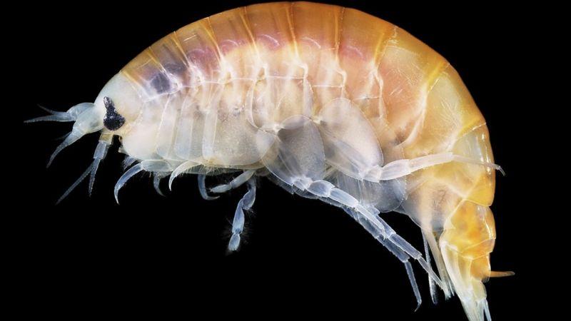 Sea fleas.