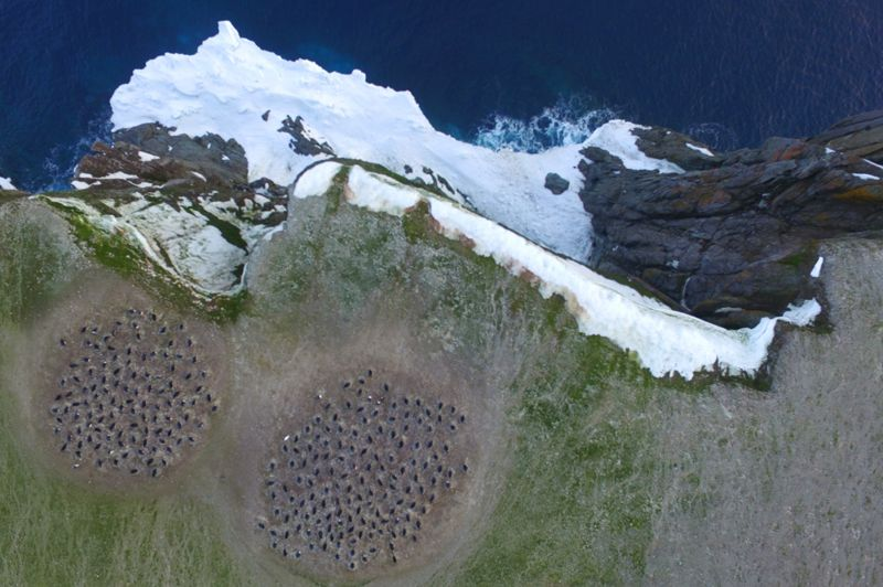 Imágenes aéreas con cuadricóptero de las colonias reproductoras de pingüinos adelaida en la isla Heroína, Islas de peligro, Antártida