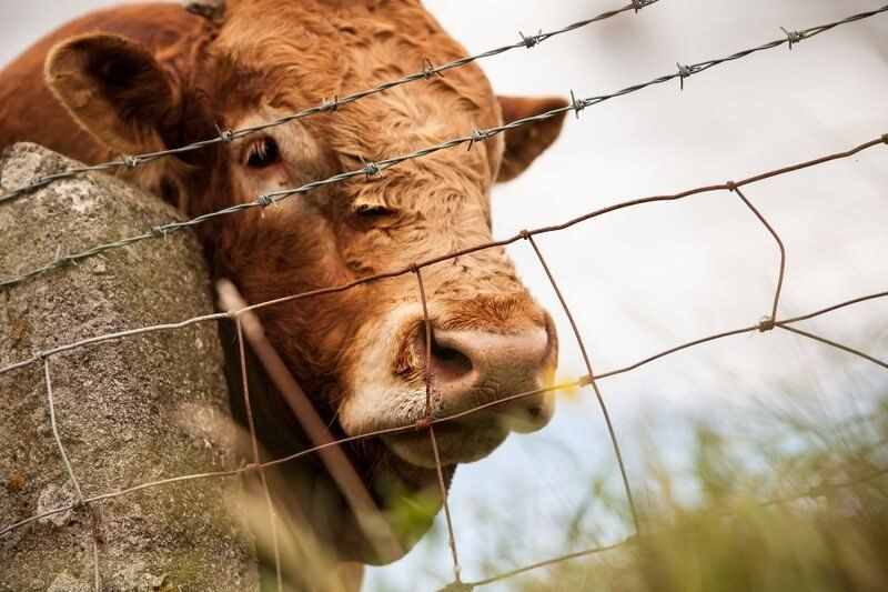 Ai hwn ydi tarw enwog Tommo? // Hope you have enjoyed Cymru Fyw's bull-iant look at Summer in North Wales
