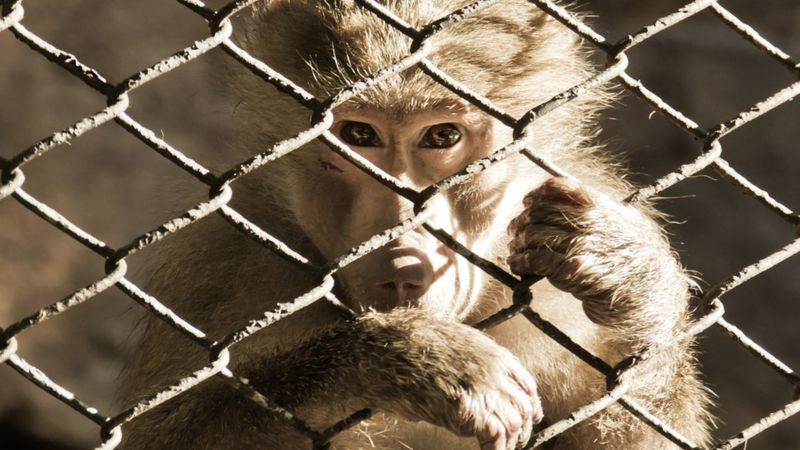 Baboon in a cage
