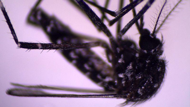 Aedes vittatus wurde kürzlich in Kuba entdeckt | Bildquelle: https://www.bbc.com/mundo/vert-cap-55949830 © P.M. ALARCÓN-ELBAL Y M.A. RODRÍGUEZ-SOSA | Bilder sind in der Regel urheberrechtlich geschützt