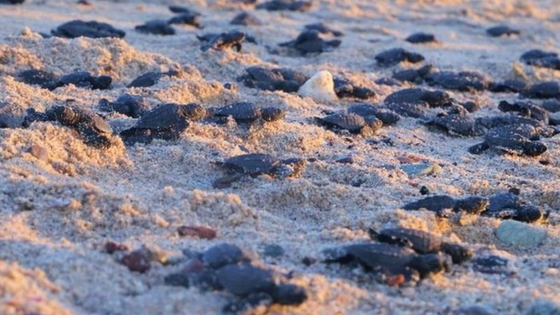More than 2,250 baby olive ridley sea turtles have been released into the Gulf of California