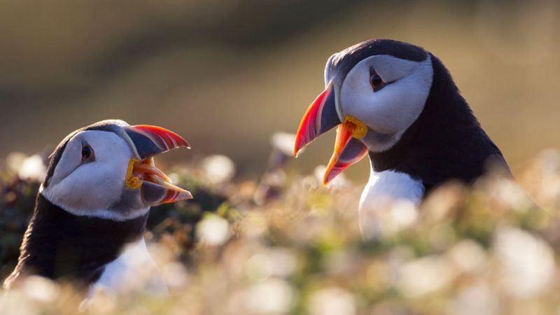 Puffins on Skomer attract visitors on boat trips