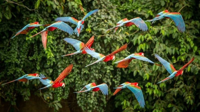 Flying macaws in tropical forest