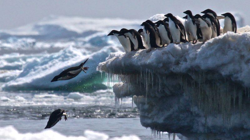 Pingüinos adelaida saltando desde un iceberg en los Islotes Peligro.