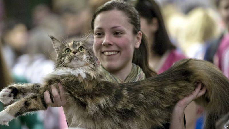 International cat beauty contest held in Romania - CBBC