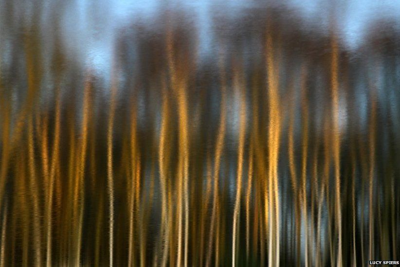 Inverted reflection of birch trees