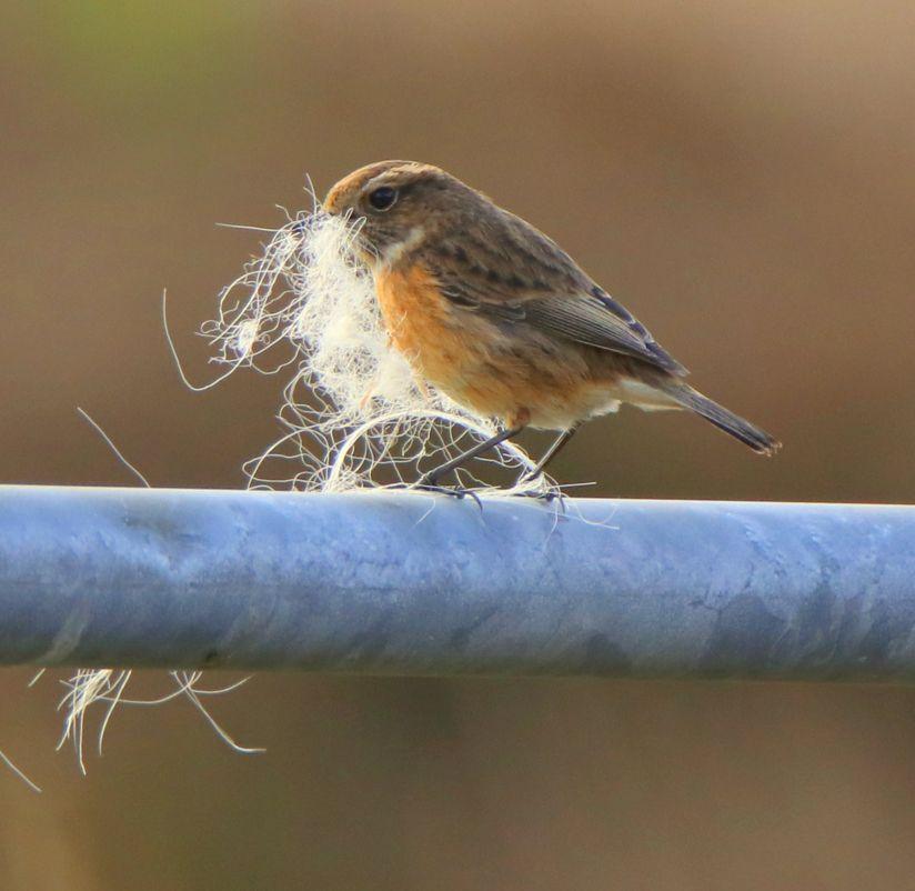 Bird carrying wool in its beak
