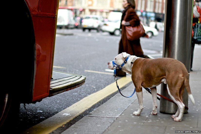 Dog about to get on a bus