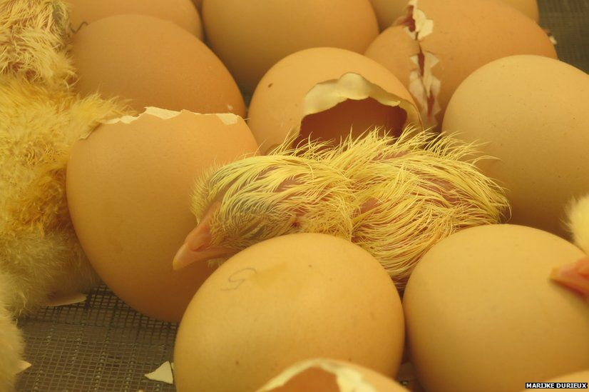 A chick and eggs