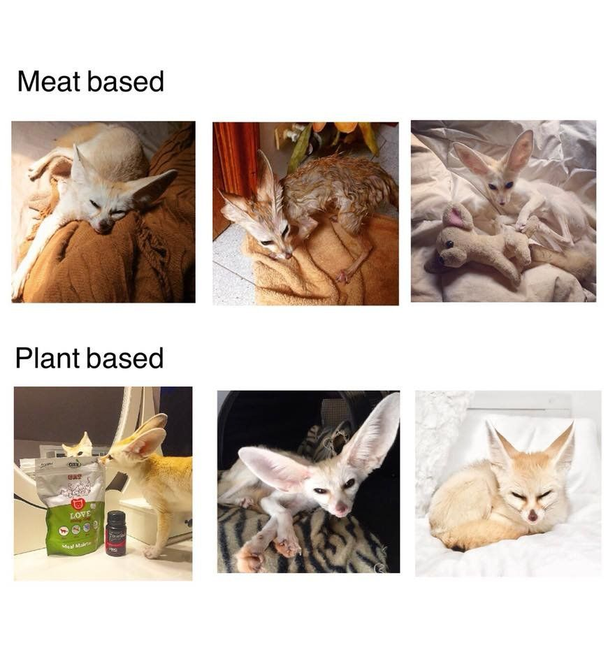 A collection of photos of the fennec fox under the headlines 'meat based' and plant based