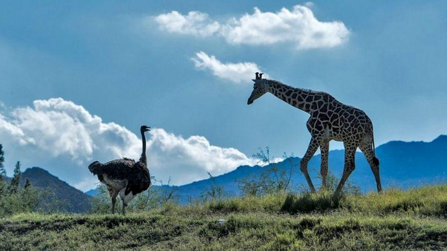 Страус и жираф, вопреки ожиданиям, стали не разлей вода