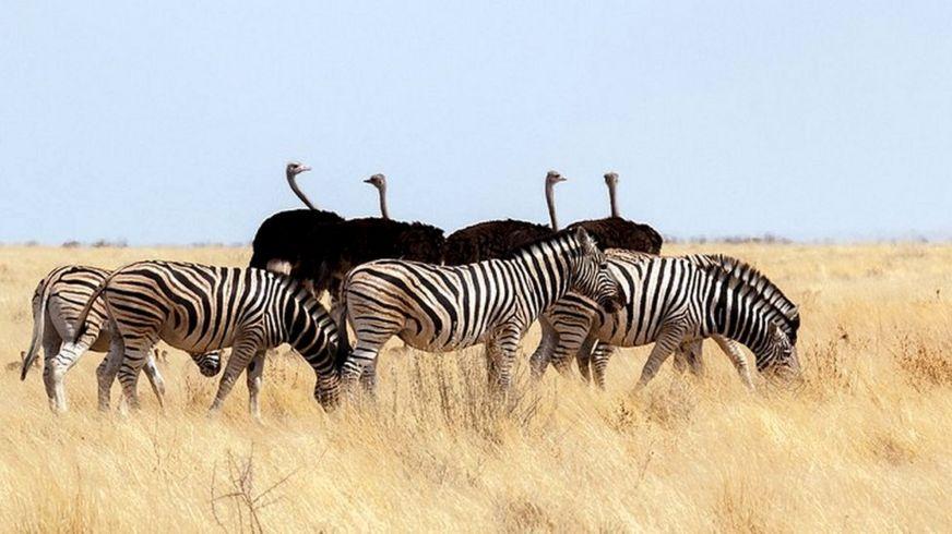 Страусы и зебры действуют сообща, предупреждая друг друга о появлении хищников