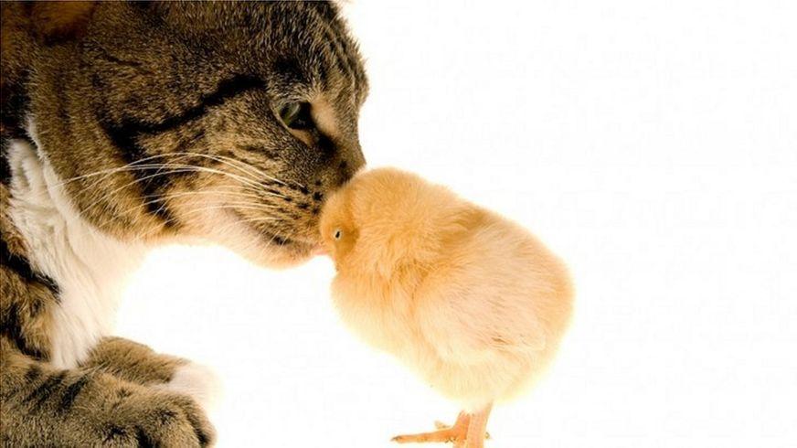 Уже не раз сообщалось о случаях, когда кошки становились приемными родителями для птенцов