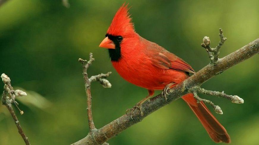 Красные кардиналы (американская певчая птица) известны тем, что часто выращивают птенцов малиновки