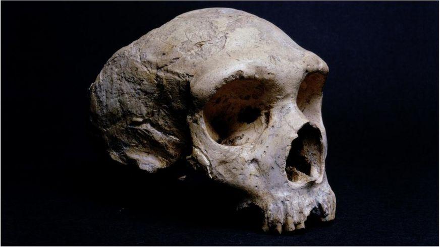 Окаменелый череп неандертальца, найденный в Гибралтаре, находится в Музее естествознания в Лондоне (Credit: Getty Images)