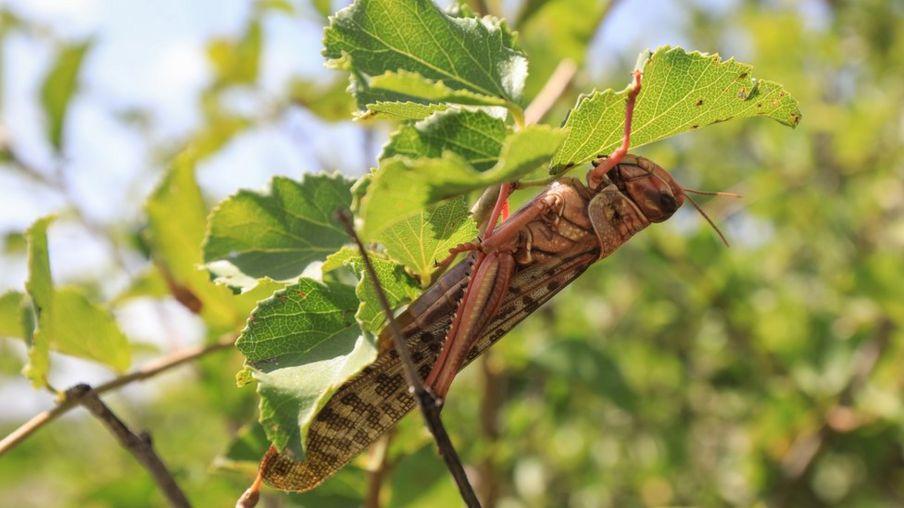 A locust munching on a leaf in northern Kenya, January 2020