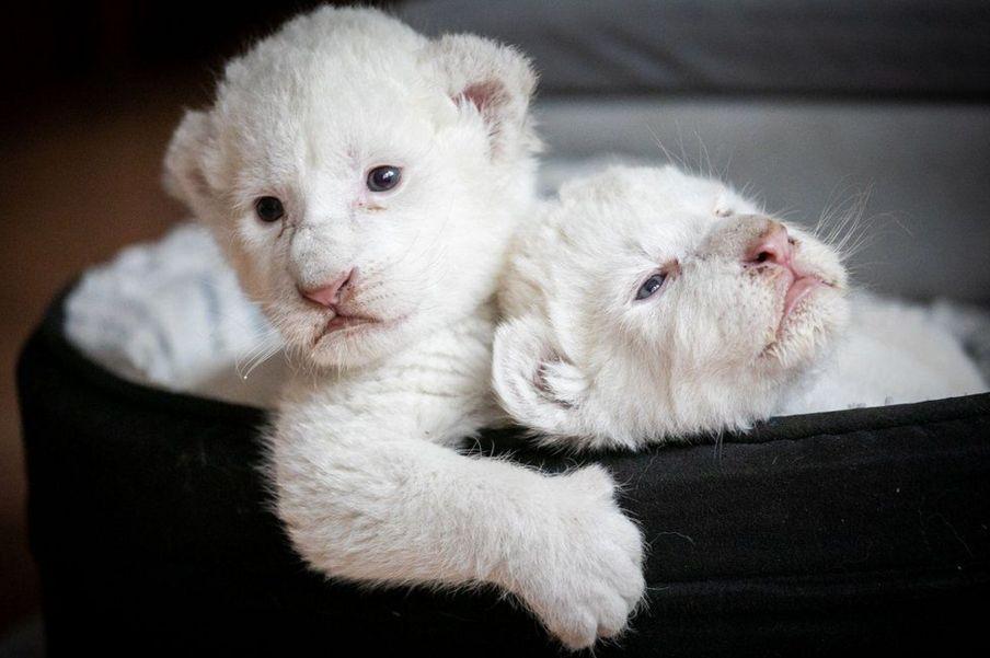 شیر سفید