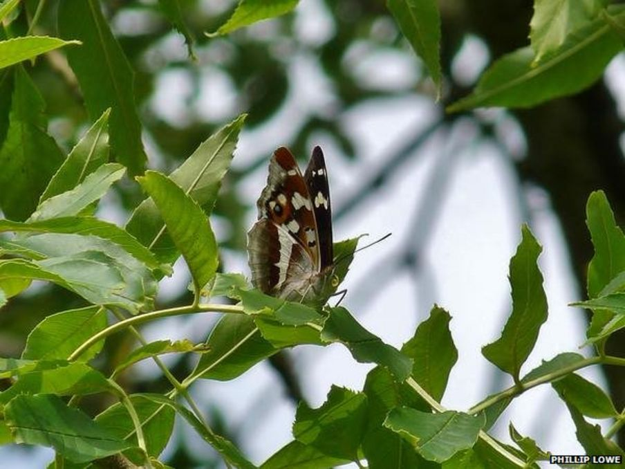 Purple Emperor: Your pictures of the butterfly that feeds on rotting flesh