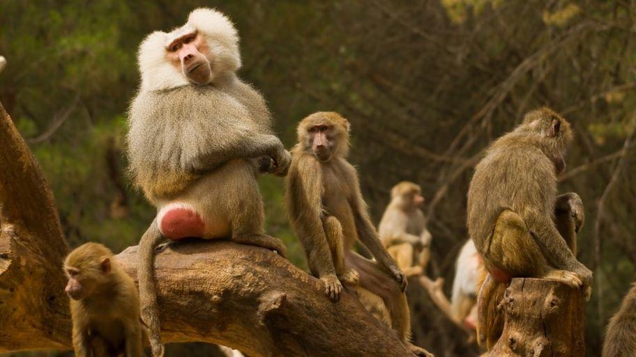 mandrill-primate.