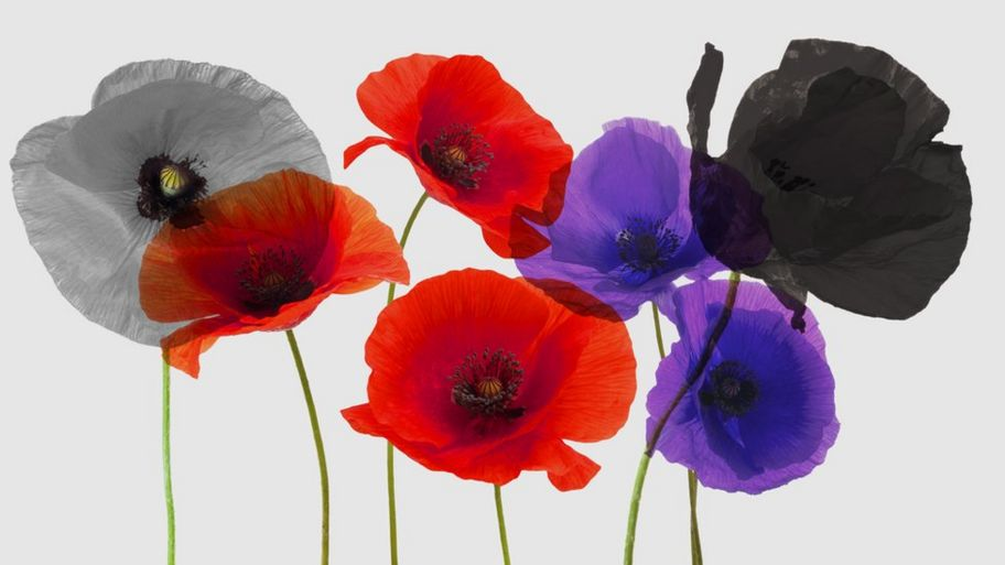 What does the purple poppy mean? - CBBC Newsround