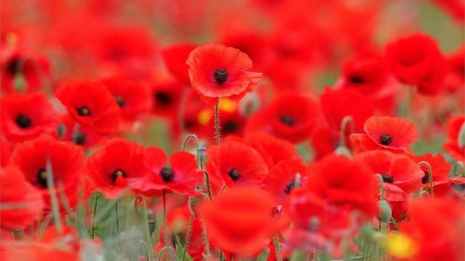 Guide why do people wear poppies cbbc newsround a field of poppies mightylinksfo