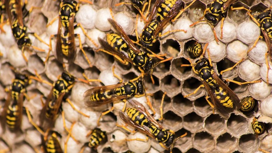 what s the difference between wasps bees and hornets cbbc newsround