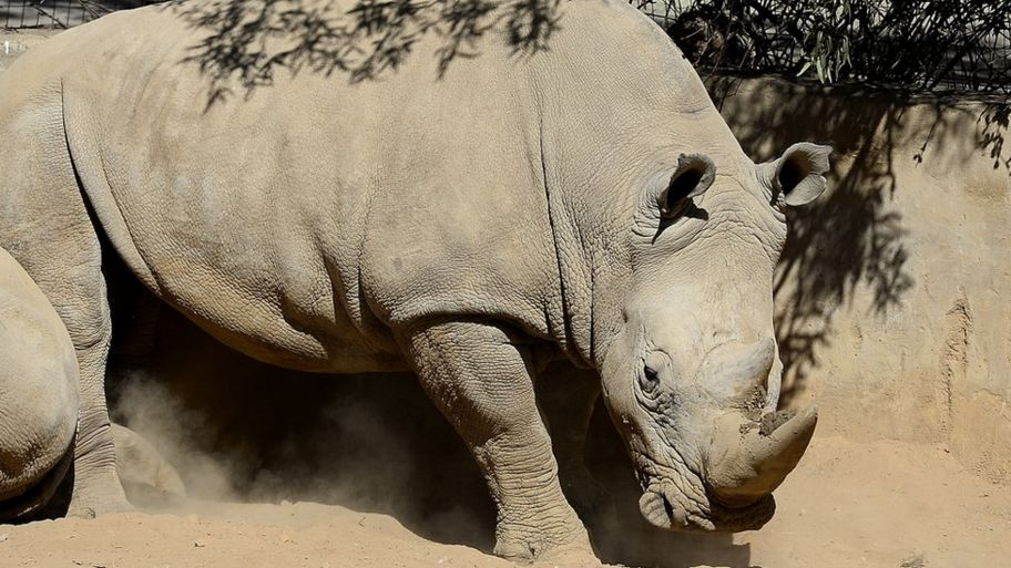 Defending the Rhino: Fifteen fantastic rhino facts - CBBC