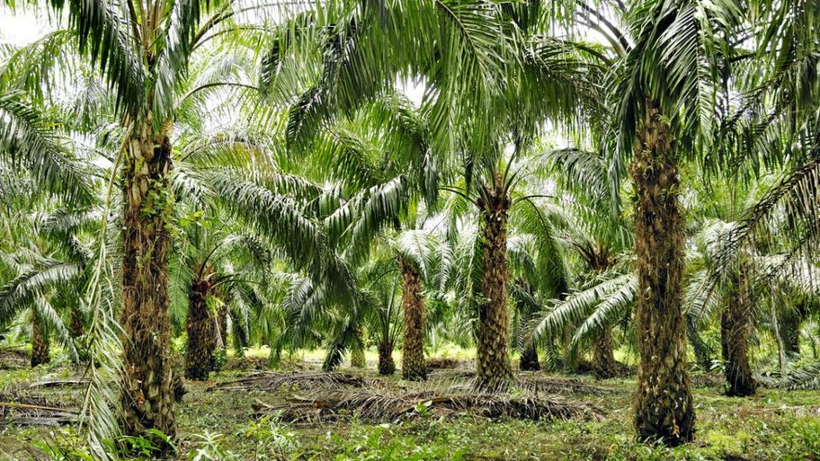 Note To Fox News This Is Not Palm Tree >> What Is Palm Oil And Why Is It Thought To Be Bad Cbbc Newsround